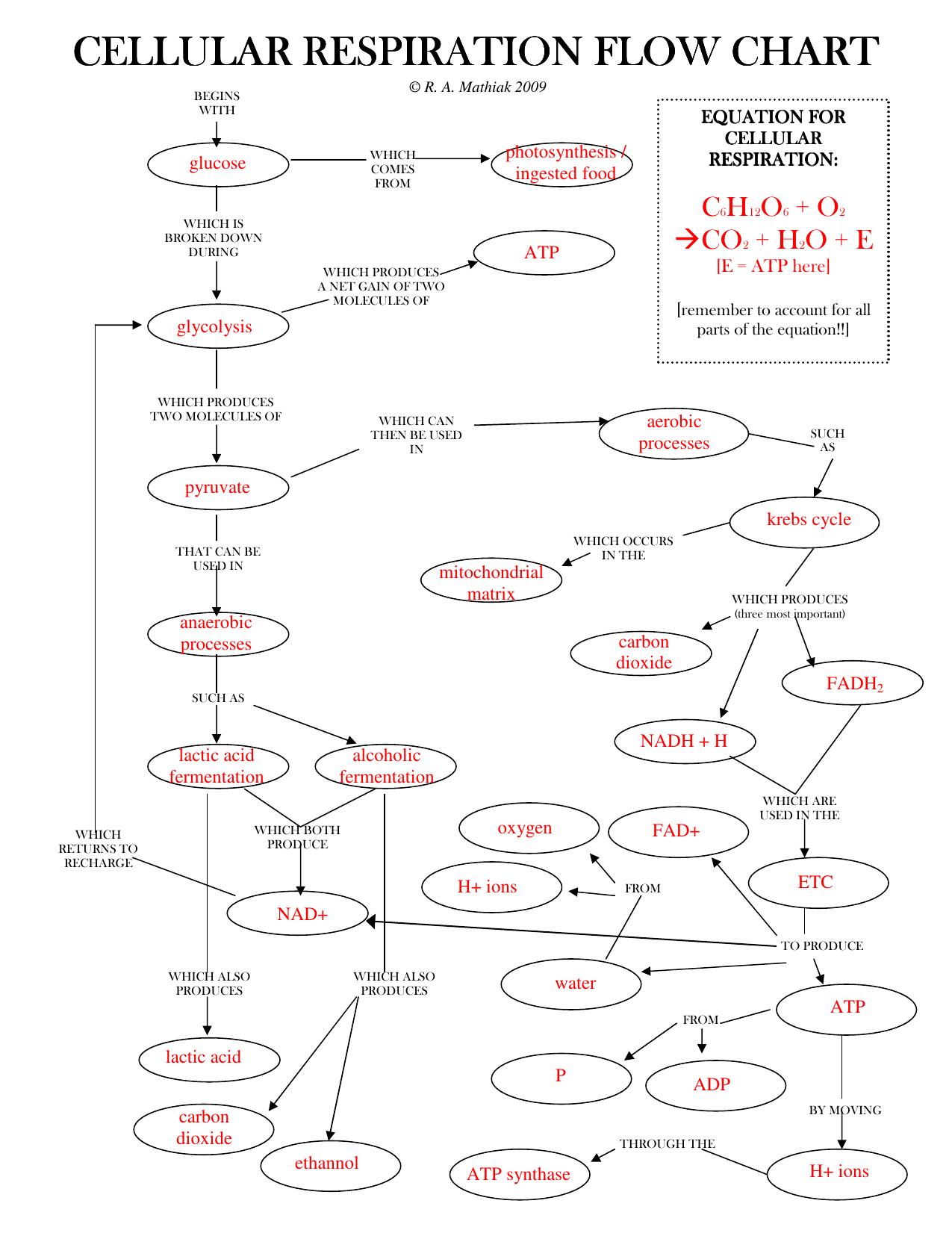 Cellular Respiration Flow Chart Worksheet Promotiontablecovers