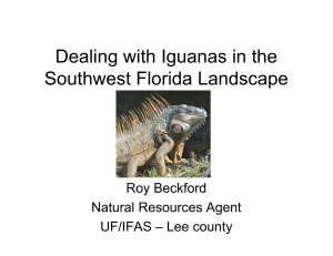 Dealing with Iguanas in the Southwest Florida Landscape