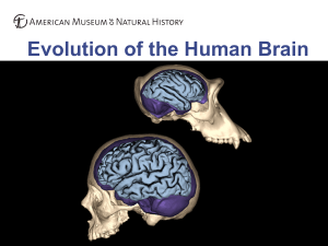 Evolution of the Human Brain