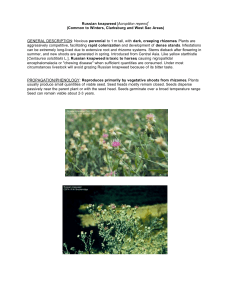 Russian knapweed [Acroptilon repens]