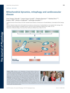 Mitochondrial dynamics, mitophagy and cardiovascular disease
