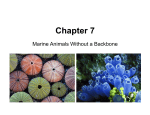 Lecture Chapter 7 Echinoderms and Invertebrate Chordates