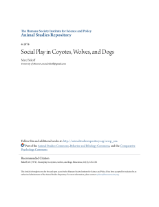 Social Play in Coyotes, Wolves, and Dogs