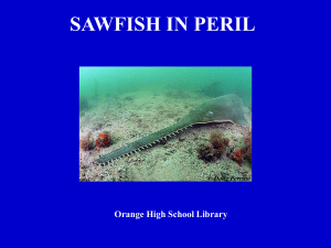 SAWFISH IN PERIL
