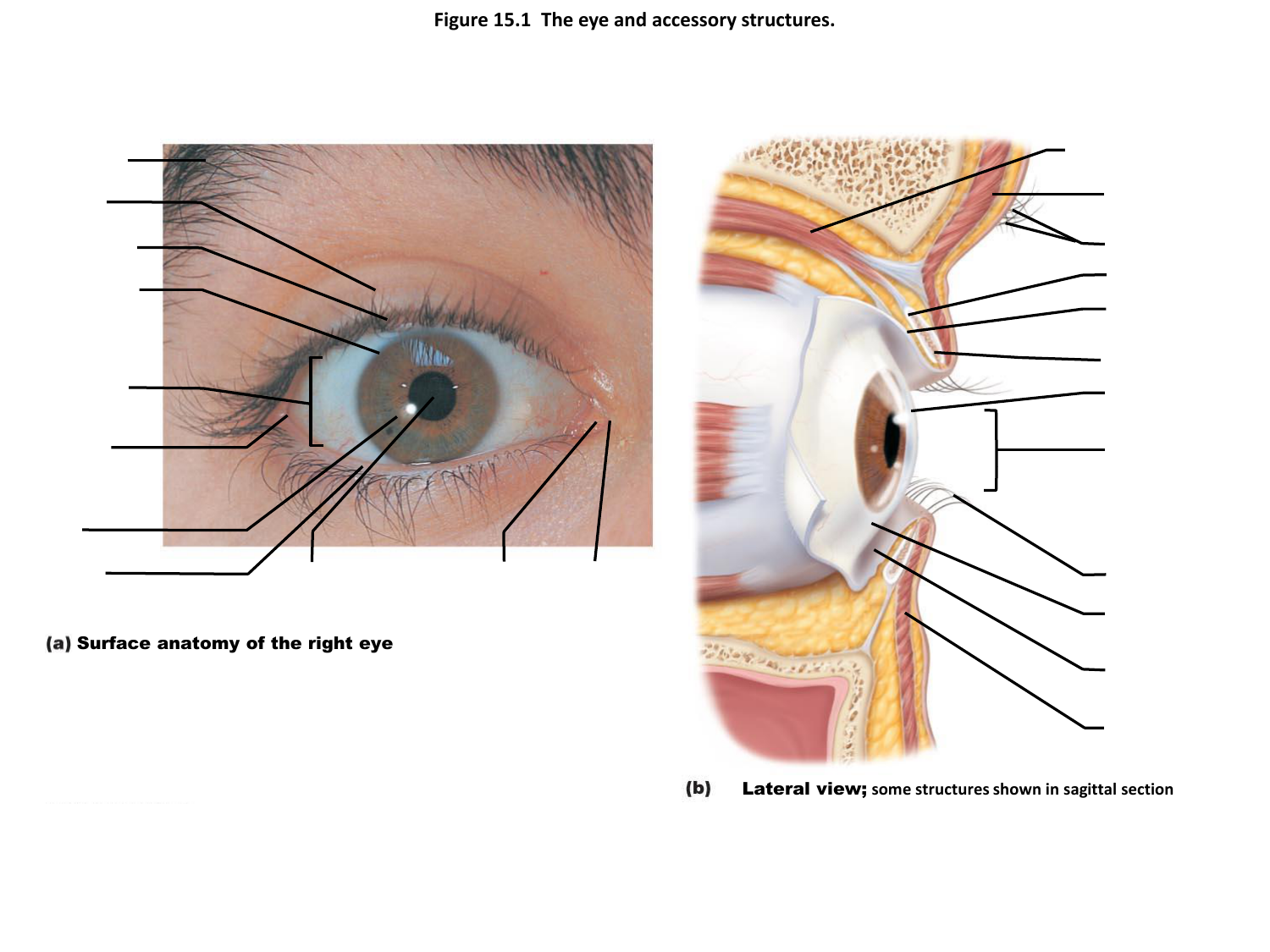 Figure 15.1 The eye and accessory structures.